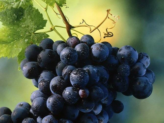 Виноград изабелла — описание сорта и его характеристики. посадка, уход и особенности обработки популярного виноградника (115 фото + видео)
