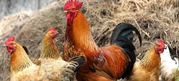 Сколько кур должно приходиться на одного петуха - разведение и содержание кур - животноводство - собственник