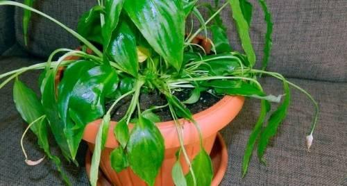 По каким причинам спатифиллум может погибнуть и как спасти растение?