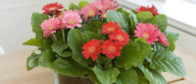 Герберы: как вырастить тропический цветок в домашних условиях. описание, сорта, уход, размножение, возможные болезни (50+ фото & видео) +отзывы