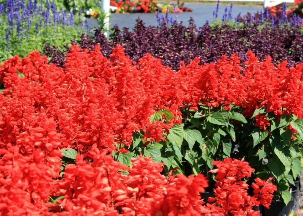 Сальвия: фото цветов рассада когда сажать и как правильно ухаживать, размножение