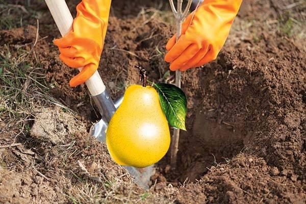 Как посадить грушу: пошаговая инструкция по посадке осенью и весной (125 фото и видео)