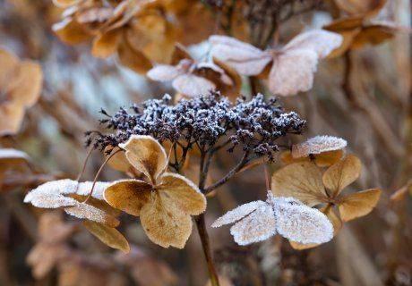 Как правильно укрыть гортензию на зиму? фото — ботаничка.ru
