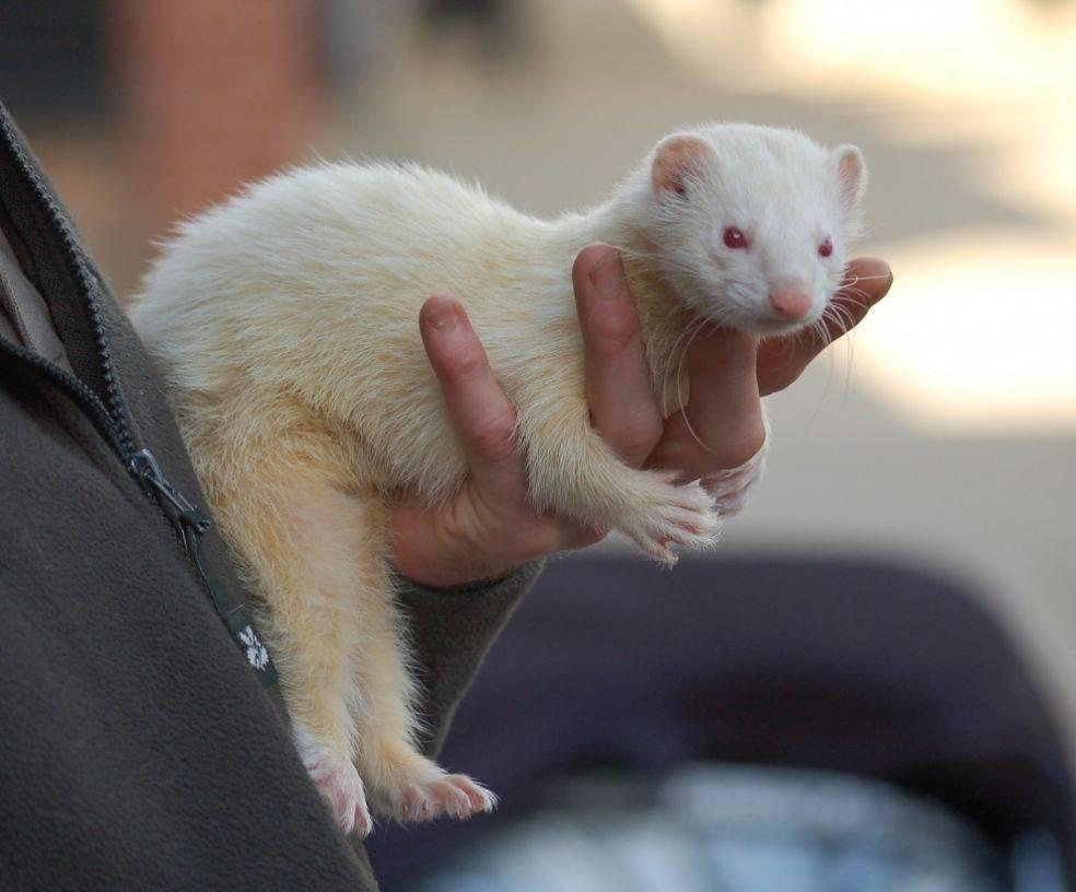 Белые хорьки (27 фото): особенности хорьков-альбиносов. сколько живут домашние животные?