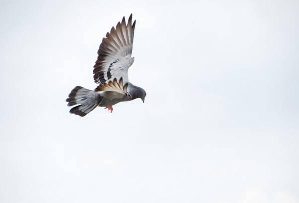 Узбекские голуби бойной породы — двухчубые и лохмоногие