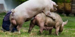 Сколько живут свиньи разных пород