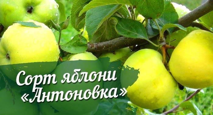 Антоновка (сортотип яблони)