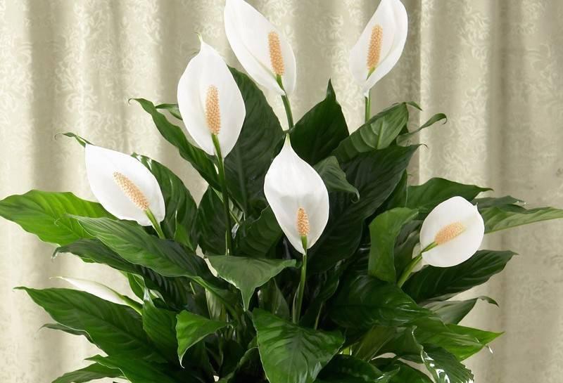 Почему у спатифиллума чернеют цветки и что делать для устранения проблемы?