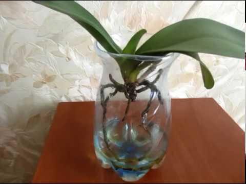 Поможем реанимировать орхидею: как спасти цветок без корней и листьев, либо с чем-то одним?