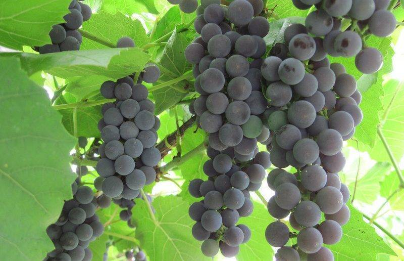 ᐉ сорт винограда альфа - roza-zanoza.ru