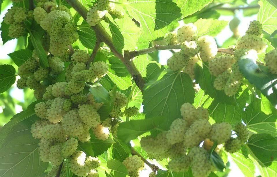 Секреты выращивания и ухода за шелковицей в средней полосе