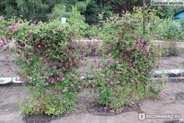 "Клематис ""пурпуреа плена элеганс"": описание сорта, фото и отзывы"