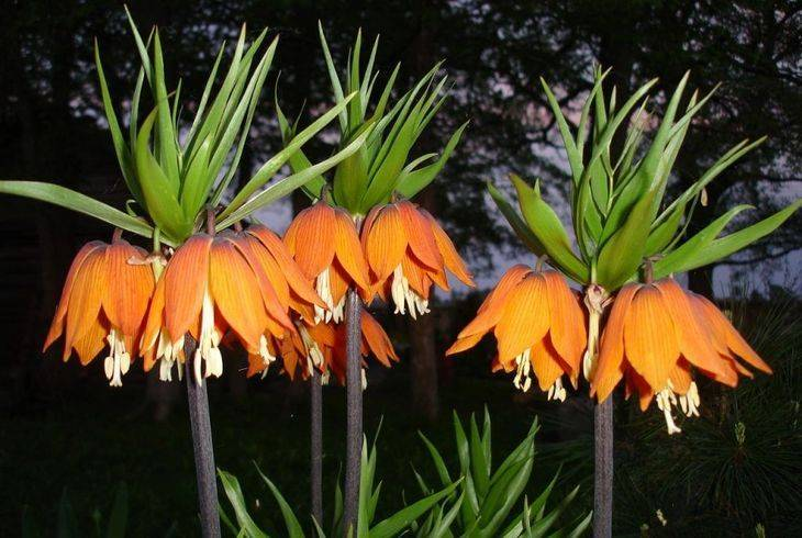 Цветок рябчик (фритиллярия): фото и описание, видео посадки и ухода в открытом грунте