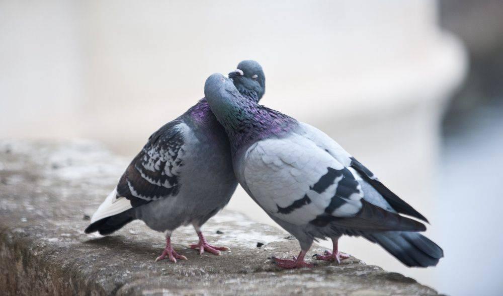 Спаривание. голуби