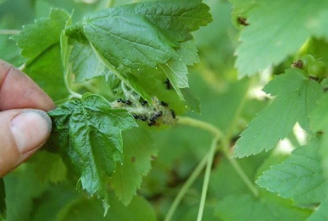 Чем обработать смородину, у которой скручиваются листья?
