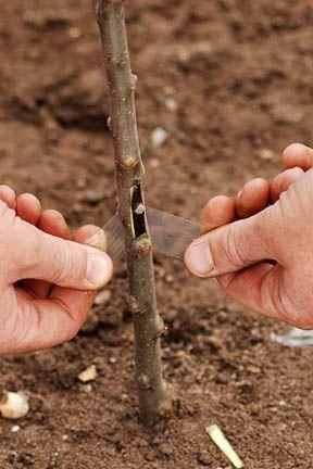 Как правильно прививать деревья в саду