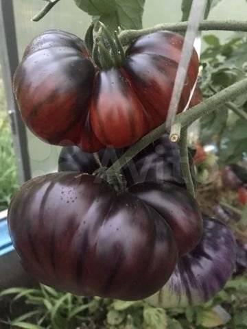 Томат чудо уолфорда: описание и урожайность сорта, фото, отзывы
