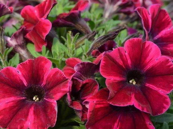 Сорта и гибриды петунии: ампельный и каскадный цветок, фото видов с названием