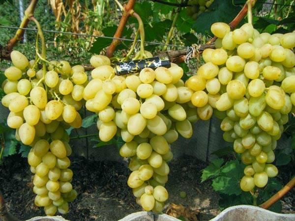 «вэлиант» — отважный сорт винограда