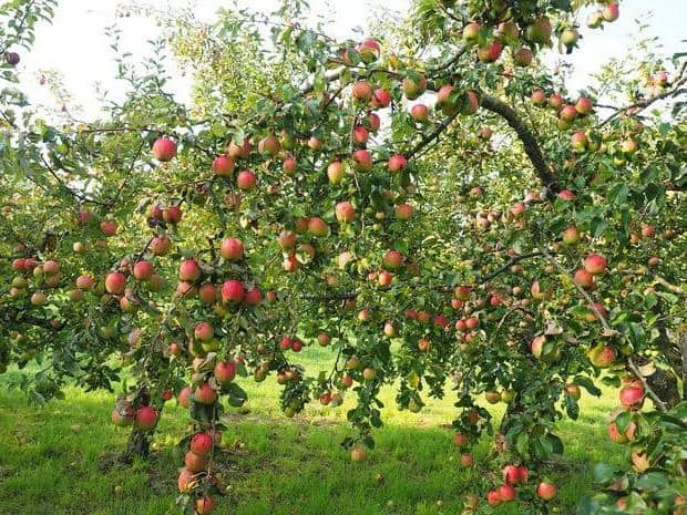 Сорт яблони гала, описание, характеристика и отзывы, а также особенности выращивания яблок