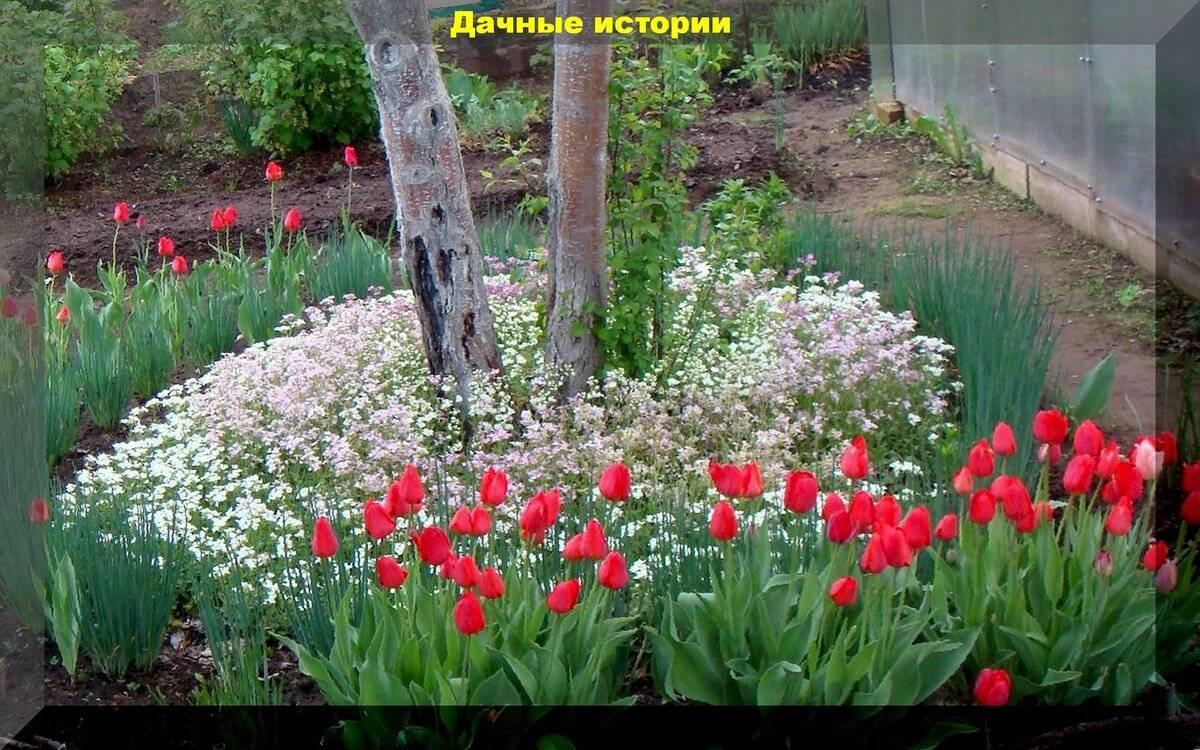 Уход за тюльпанами для пышного цветения