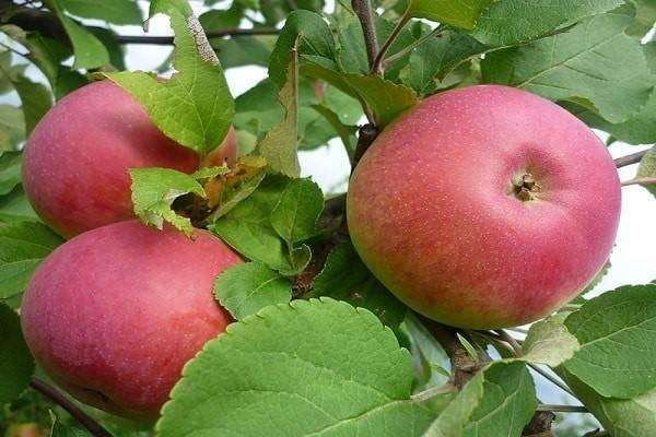 Яблоня моди: описание сорта, фото, отзывы