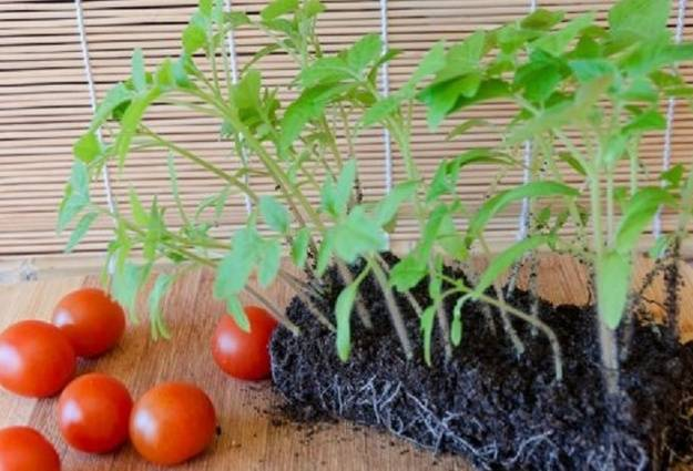 На какую глубину сажать семена помидор