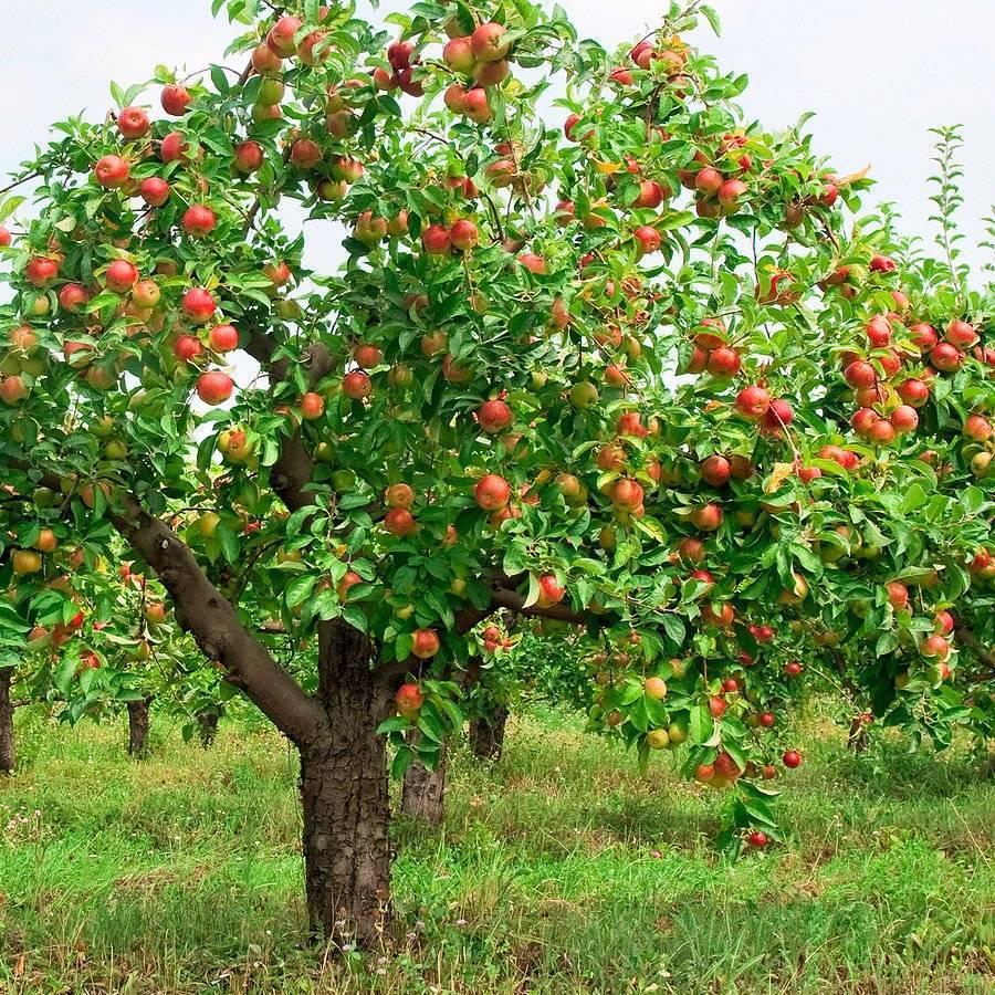 Почему не зацвела яблоня в этом году – основные причины