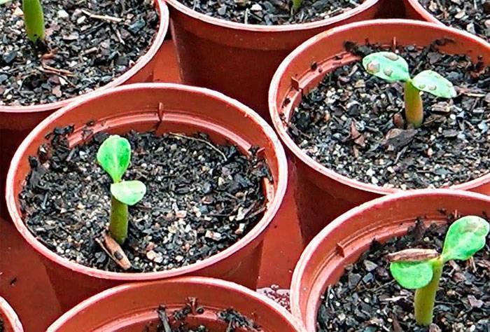Порядок действий при выращивании адениума из семян в домашних условиях, пересадка сеянцев