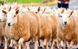 Содержание и выращивание овец и баранов в домашних условиях