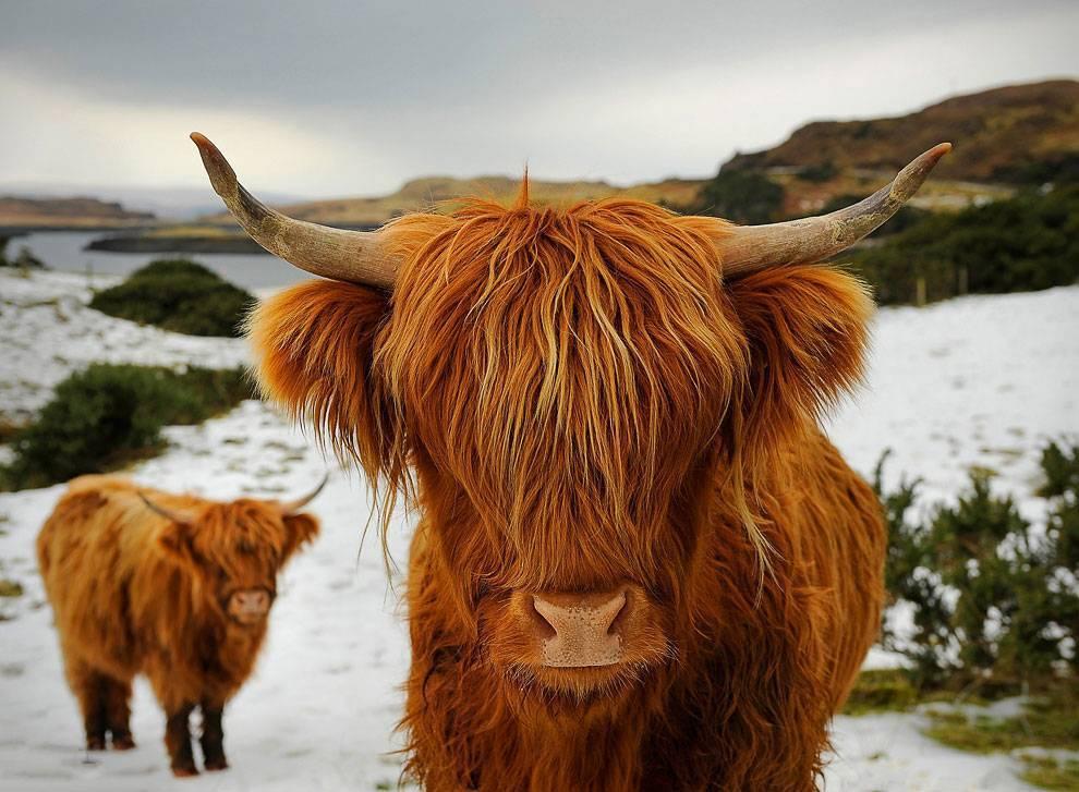 Швицкая порода коров: [описание породы, фото, уход, преимущества и недостатки]