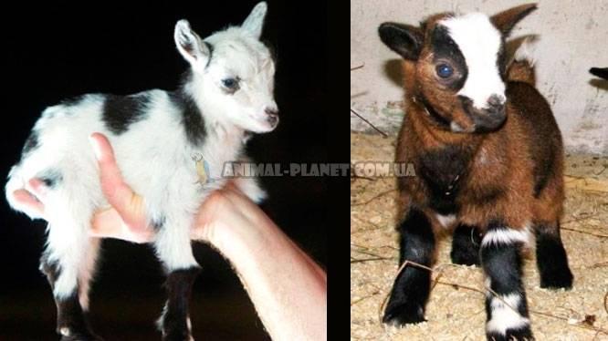Дамасская коза шами: описание породы с длинными ушами и фото, особенности содержания в домашних условиях и какие правила ухода за шерстью, копытами, как доить?