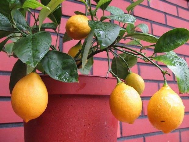 Как привить лимон в домашних условиях чтобы он плодоносил? 125 фото, видео и руководство по прививке своими руками