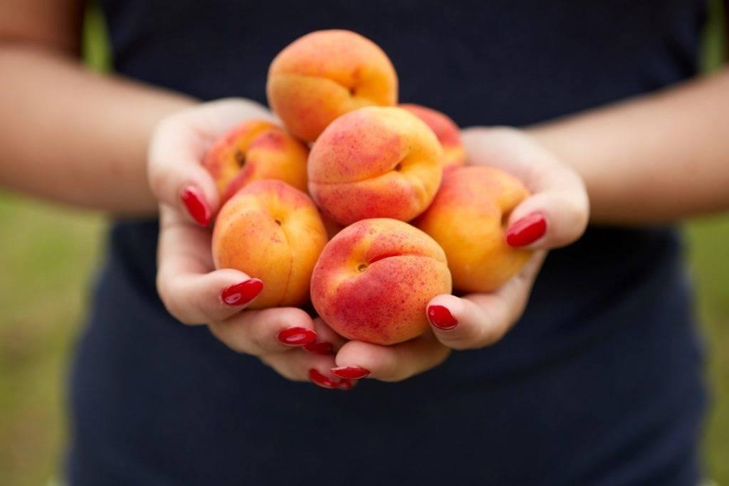 Основные характеристики абрикосов сорта персиковый - секреты садоводов