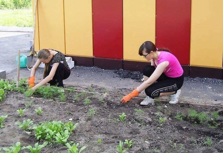 Лихнис: посадка и уход в саду, виды и сорта