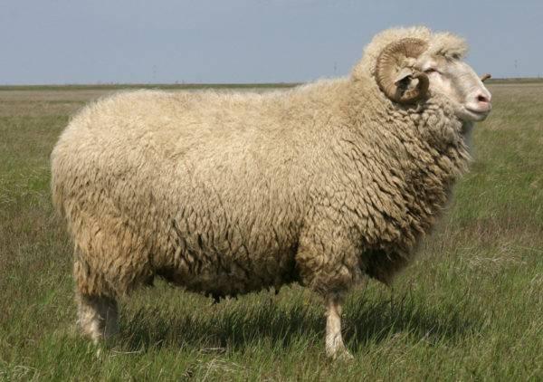 Мясные породы овец с фото и описанием для разведения в россии