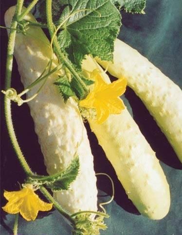 Белые огурцы: лучшие сорта и гибриды для выращивания в теплице