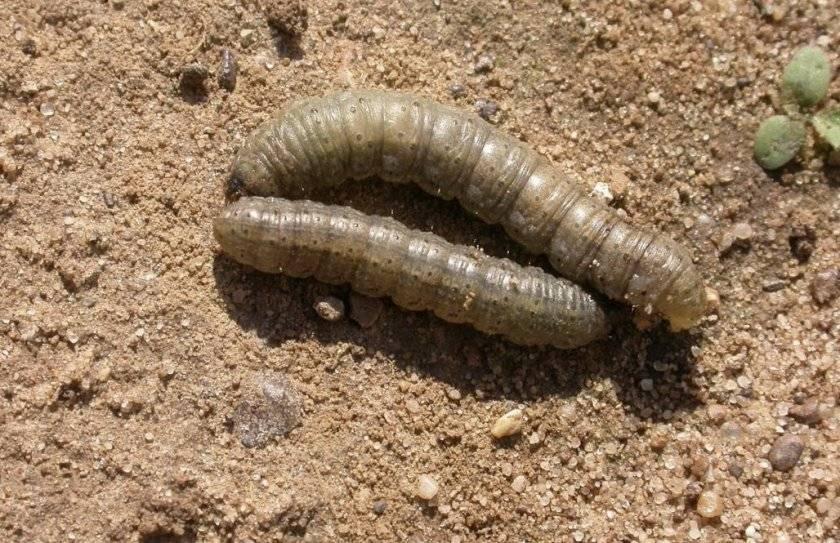 ✅ гусеницы на перце: название и описание, что делать и как избавиться, фото - tehnoyug.com