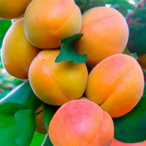 Как обрезать колоновидный абрикос | мой сад и огород