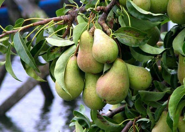 Посадка и выращивание груши: описание, виды, полив, удобрение, обрезка и другие тонкости ухода за деревом (25 фото & видео) +отзывы
