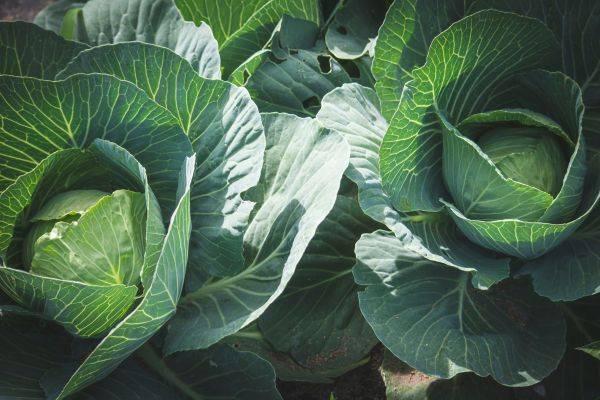 Удобрение кальциевая селитра — инструкция по применению