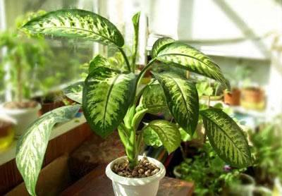 Диффенбахия домашняя - уход, фото, условия выращивания