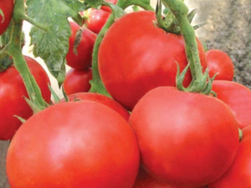 Характеристика и описание сорта томата таня - всё про сады