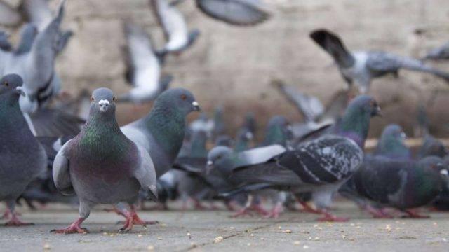 Как избавиться от голубей на крыше балкона