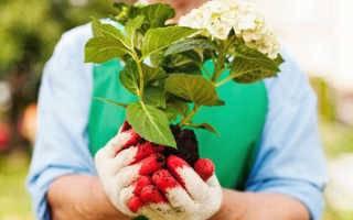 Как сажать гортензию в саду (в открытый грунт) и в домашних условиях (в горшок)