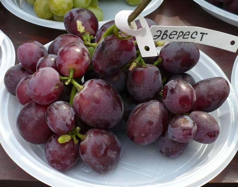 Виноград «шахтер» (дар афродиты): характеристика и описание сорта, описание гроздей с фото