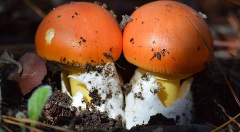 Цезарский гриб или царский гриб: описание и распространение