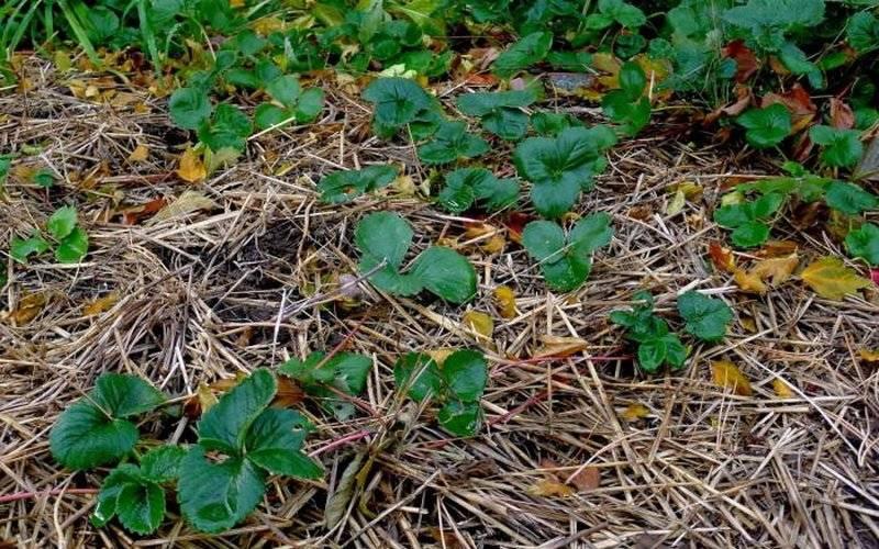 Как ухаживать за клубникой осенью — готовим культуру к зиме