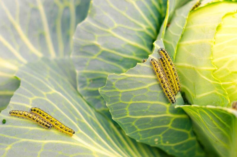 Народные средства в борьбе с вредителями капусты