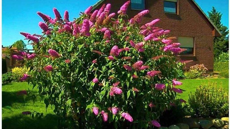 Буддлея давида: посадка и уход, фото разных видов и сортов цветка, высадка будлеи в открытый грунт